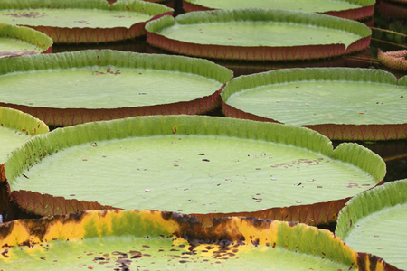 Victoria amazonica is a species of flowering plant, the largest of the Nymphaeaceae family of water lilies. It is the national flower of Guyana