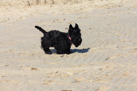 The Scottish Terrier (also known as the Aberdeen Terrier), popularly called the Scottie, is a breed of dog Stock Photo