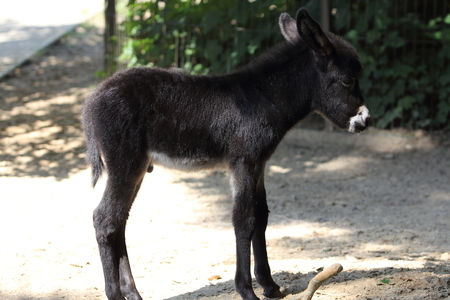 The donkey or ass (Equus africanus asinus) is a domesticated member of the horse family, Equidae. The wild ancestor of the donkey is the African wild ass