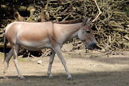 The onager (Equus hemionus), also known as hemione or Asiatic wild ass, is a species of the family Equidae (horse family) native to Asia