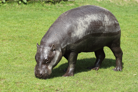 The pygmy hippopotamus (Choeropsis liberiensis or Hexaprotodon liberiensis) is a small hippopotamid which is native to the forests and swamps of West Africa
