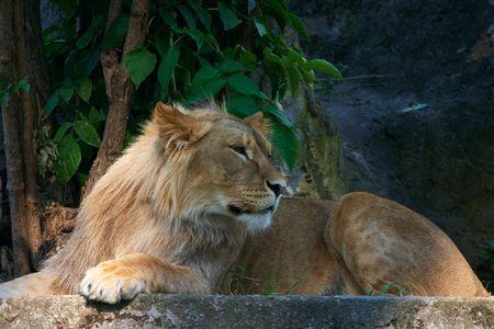 Portrait of a big male lion Stock Photo - 3089139