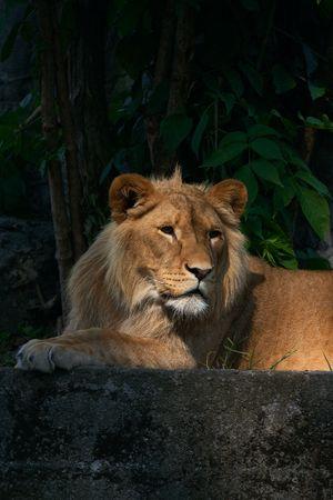 Portrait of a big male lion photo