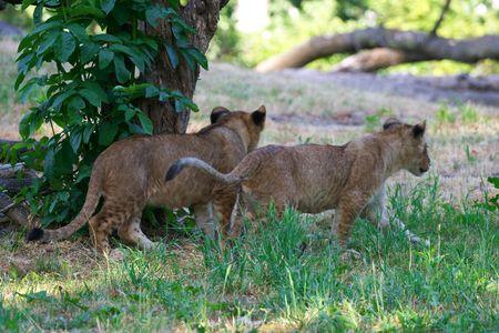 Dos j�venes leones juntos  Foto de archivo - 3089098