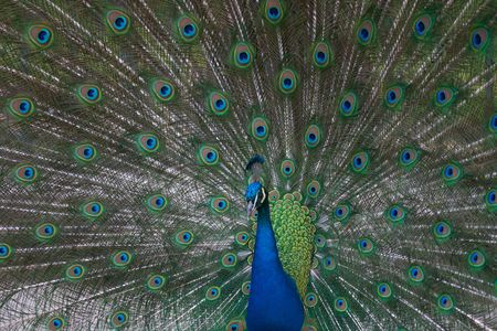 plummage: hermoso pavo real macho indio mostrando sus plumas (Pavo cristatus)  Foto de archivo