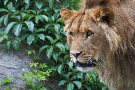 Portrait of a big male lion Stock Photo - 3089077