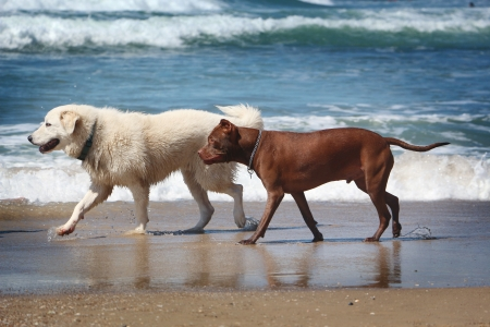 Two dogs from different breeds walk on the beach photo