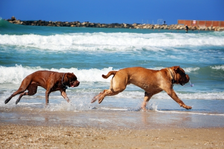 Two dog chase each other on the beach photo