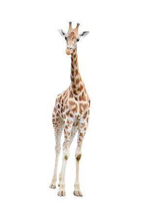 若い網状のキリン、キリン カン、草食動物熱帯アフリカと高い土地の動物、フロントのフルボディのビューを白い背景で隔離のサバンナで発見 写真素材