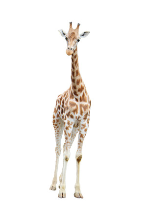 Young reticulated giraffe, Giraffa camelopardalis reticulata, herbivore found on the savannas of tropical Africa and the tallest land animal, front full body view isolated on white background