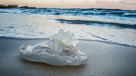 Rhopilema nomadica Jellyfish Turned Upside Down