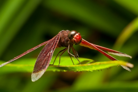 Red dragonfly on the green leaf  photo