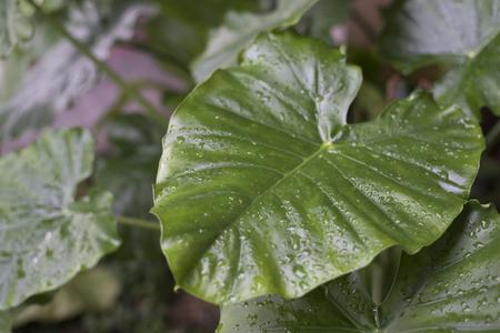dew on alocasia macrorrhiza leaf in the morning