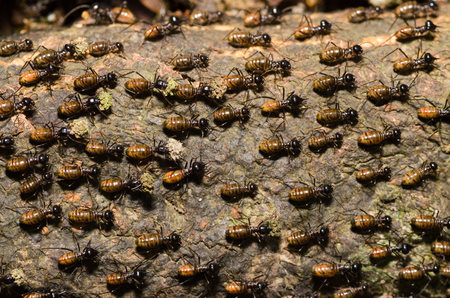 brood of worker termite on tree bark.Termites are eusocial insects that are classified at the taxonomic rank of infraorder Isoptera