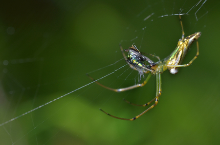spider with its prey on a spider web or cobweb. spider eating prey Stock Photo