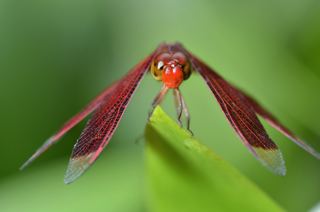 Crocothemis erythraea is a species of dragonfly in the family Libellulidae. Its common names include broad scarlet, common scarlet-darter, scarlet darter and scarlet dragonfly