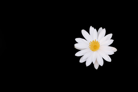 white water lily flower isolated on black background. nature concept