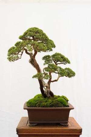 bonsai tree isolated on white background. Japanese TRAY PLANTING or JAPANESE ART. nature concept
