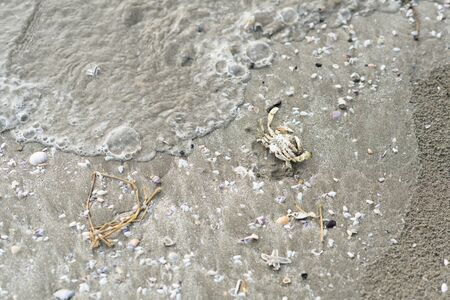 crab carcass on a sandy beach surrounded with sea shells. concept of a marine life, water pollution and climate change