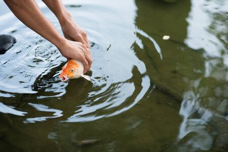 man catching or releasing koi or carp fish into a pond hoping for luck Фото со стока