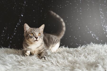 Active kitten playing. Mixed breed of maine coon with british shorthair Фото со стока - 132164767