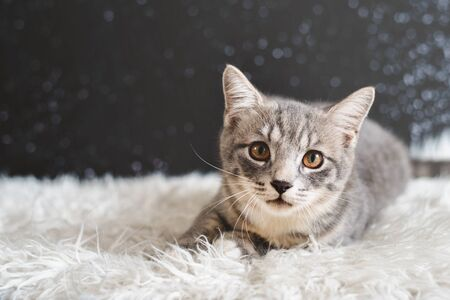 Cute cat portrait. Mixed breed of maine coon with british shorthair. cat looking at camera