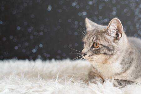 Cute cat portrait. Mixed breed of maine coon with british shorthair. cat looking away from camera