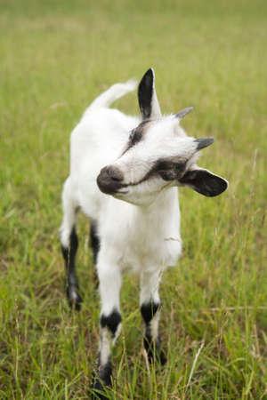 smiling goat: white goat on the green grass Stock Photo