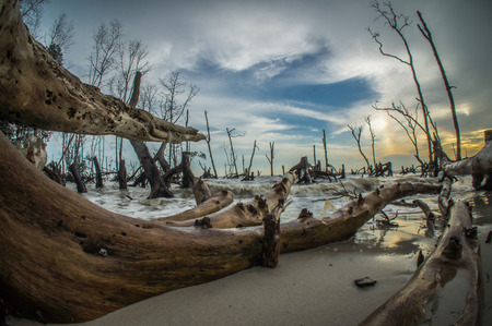 mangroves: the art of Dead Mangroves forest in Klanang beach Malaysia Stock Photo