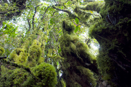 mossy: Mossy Forest landscape with old massive trees and mossy stones