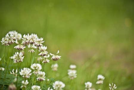Trifoliums Stock Photo - 10090867