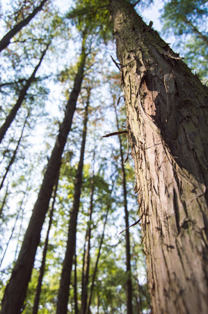 metasequoia: Close up to Metasequoia trees Stock Photo