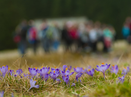 Crocuses - first spring flowers in Chocholowska valley, crowds of tourists in the background in bokeh, Tatras Mountain, Poland