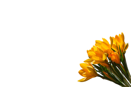 Yellow spring flowers crocus isolated on white background.