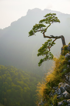 Famous curved pine tree on the top of Sokolica peak in Pieniny, Poland. Vertical orientation