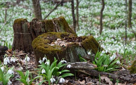 vernal: Snowdrops Galanthus plicatus near rotten stumps in spring forest
