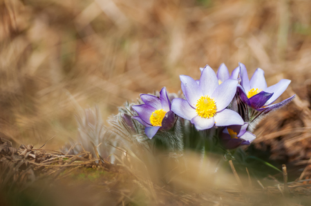 Beautiful purple pasque flower in yellow hay at sunny spring day