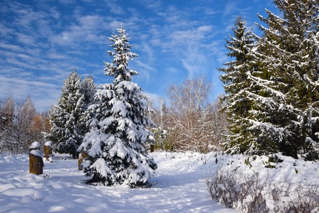 Fir tree covered by fresh snow in snowy park at sunny day with picturesque sky background
