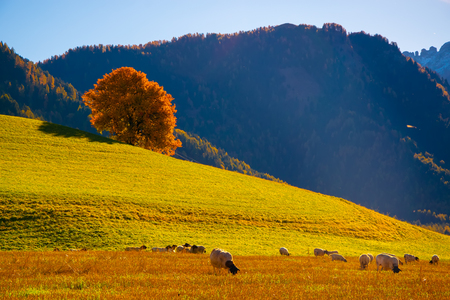 Amazing autumn rural landscape with sheeps and and lonely yellow tree on pasturage on foreground and mountain hills on background. Dolomite Alps, Italy 免版税图像