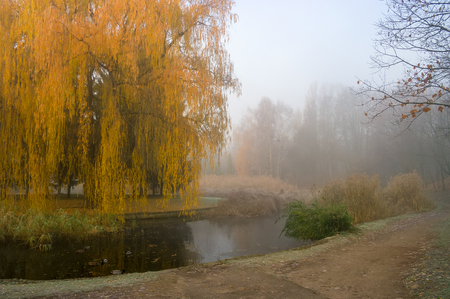 Weeping willow tree over the pond in autumn park. Misty foggy autumn day.