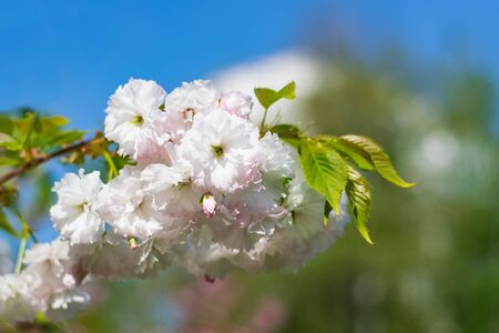 Beautiful nature scene with sakura white blossom on blurred colorful background. Easter Sunny day. Spring flowers. Springtime