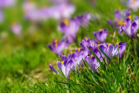 Purple crocus flowers blooming on spring meadow. Tender spring flowers crocus harbingers of warming symbolize the arrival of spring. Easter photo with copyspace for your text.