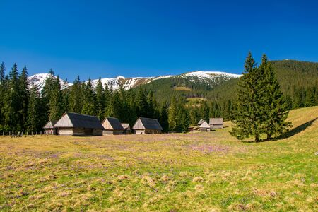 Beautiful Chocholowska Clearing with blooming crocuses meadow on foreground and historic shepherds huts and snowcapped mountains in the background, Tatra Mountains, Poland