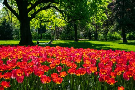 Blooming red tulips in Rathauspark near City Hall in Vienna, Austria. Beautiful spring background.