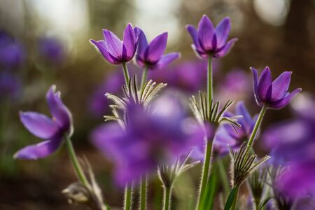 Beautiful pasque or anemone flower in sunny spring forest. It grows wild and its blooming is one of the first signs of spring. Eastern holiday concept