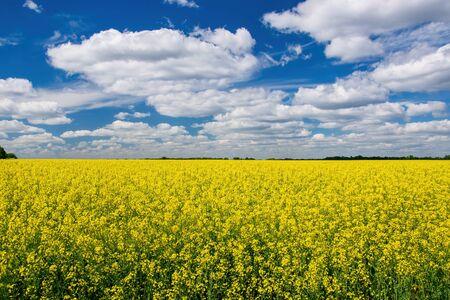 Champ de canola pittoresque sous un ciel bleu avec des nuages blancs duveteux. Image merveilleuse pour le papier peint, le concept agricole et écologique