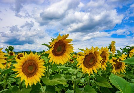 Beautiful sunflower field against picturesque cloudy sky. Harvest concept Stock Photo
