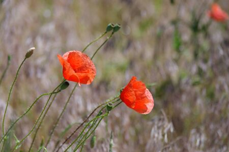 Couple of red poppies in a field of yellow grass.