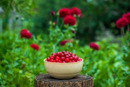 Fresh cherries in beige bowl in the garden on nature background.