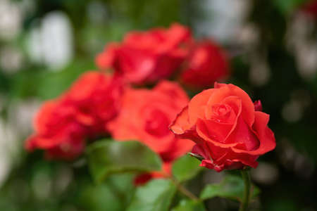 Beautiful red rose flowers on green nature bokeh background